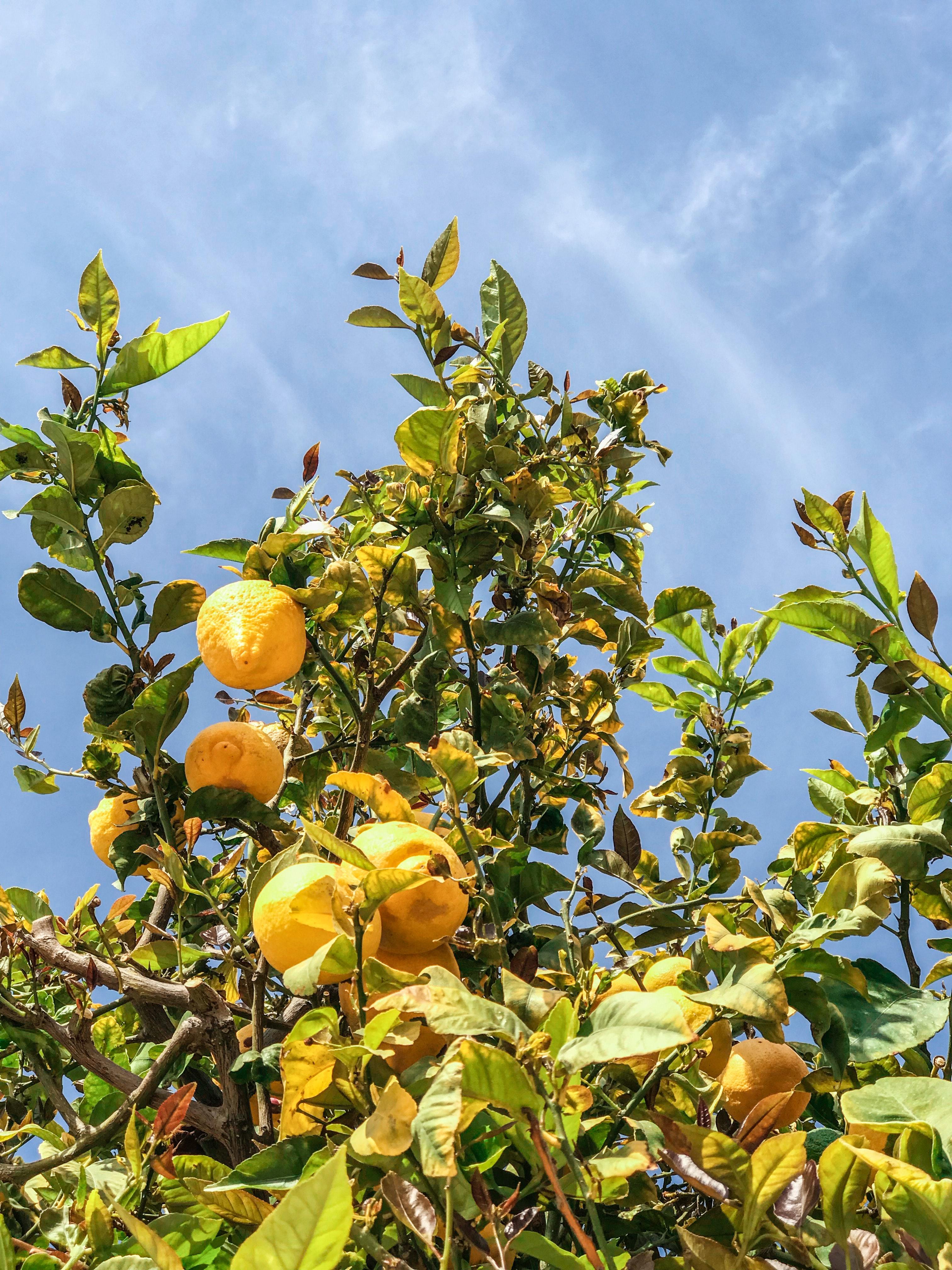 branches-bright-citrus-fruit